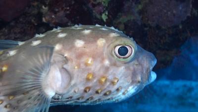 Spotbase burrfish close