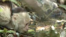 Juvenile Capuchin Monkey Drinks From Stream