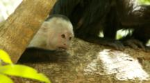 Baby Capuchin Monkey With Mother