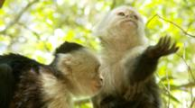 Two Female Capuchin Monkeys Grooming And Scratching