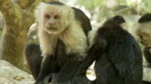 Juvenile Capuchin Monkey Forages On Ground With Monkeys In Background