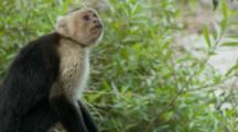 Large Male Capuchin Monkey Alert On Ground Bipedal