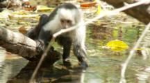 Juvenile Capuchin Monkey Drinks From Fur Over Stream