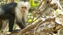 Juvenile Capuchin Monkey Foraging In Hollow Log