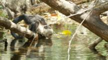 Juvenile Capuchin Monkey Walks To River And Drinks