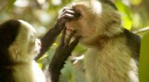 Juvenile Capuchin Monkey Sticks Fingers In Male Mouth - Rare Behavior