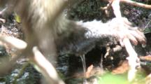 Juvenile Capuchin Monkey Foraging On Ground Over Stream