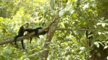 Two Capuchin Monkeys Grooming On Branch