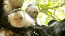 Female Capuchin Monkeys Groom Eachother And Rest With Baby