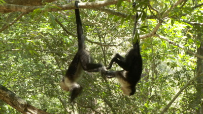 Two Juvenile Capuchin Monkeys Hang From Tails And Play Fight