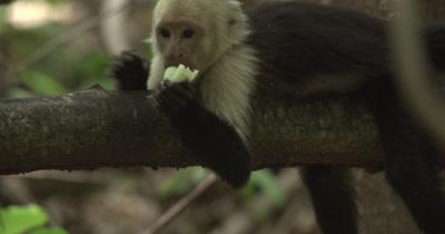 White Face Capuchin Monkey - Juvenile eats bromeliad shoot on branch