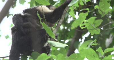 White Face Capuchin Monkeys - Mother with newborn baby on back eats bromeliad shoot