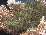 Weedy Scorpionfish - Sits On Coral