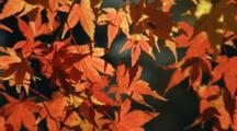 Maple Leaves In Fall Colors Move In Breeze