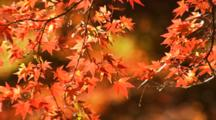 Close-up Maple Leaves In Fall Colors