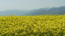 Field Of Either Mustard Or Rapeseed Flowers