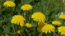 Close Up Dandelion Flowers