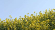 Close Up Either Mustard Or Rapeseed Flowers