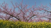 Blossoming Tree Behind Mustard Or Rapeseed Flowers