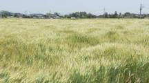 Grass Field, Possibly Wheat, Blows In Strong Wind