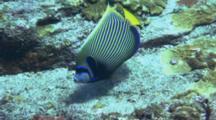 Emperor Angelfish Swims Around Reef