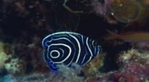 Juvenile Emperor Angelfish Swims Around Reef