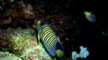 Regal Angelfish Swims Around Reef