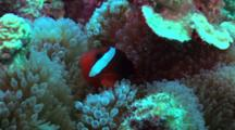 Black Or Tomato Anemone Fish Swims Near Host