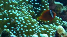 Anemone Fish, Possibly Tomato, In Host