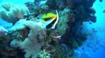 Masked Bannerfish Swims Around Reef