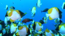 School Of Pyramid Butterflyfish On Reef