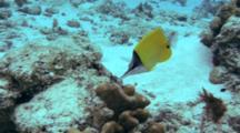 Long-Nosed Butterflyfish Feeds On Reef