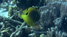 Raccoon Butterflyfish Feeds On Coral Reef