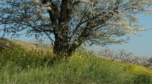 Cherry Tree Swinging With Wind