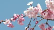 Close Up Pink Cherry Blossoms In Breeze