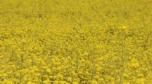 Field Of Rape Or Mustard Flowers