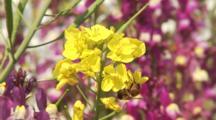 Bees On Rape Or Mustard Flowers