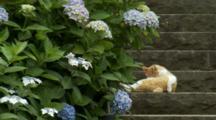 Cat On Steps Next To Hydrangeas