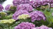 Close Up Purple Hydrangeas