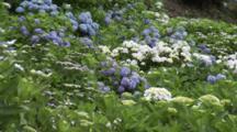 Park Area Dense With Hydrangeas