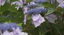 Close Up Blue Hydrangeas