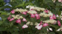 Pink And White Hydrangeas