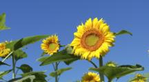 Looking Up At Sunflowers, Blue Sky Behind