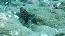 Bering Wolffish Swims On Rocky Bottom