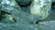 Flatfish Moves Along Rocky Bottom In Shiretoko