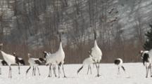 Cranes Perform Courtship Dance In Kushiro, Hokkaido, Japan