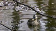 Duck Feeds On Cherry Blossoms Hanging Over Water