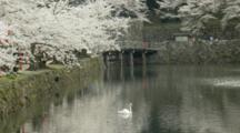 Cherry Blossoms And People Crossing Bridge Over Moat, Swan In Moat
