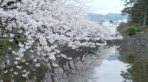 Cherry Blossoms At Odawara Castle Hang Over Moat, Reflection