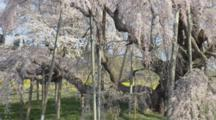Tourists Visit Huge Wisteria Tree With Branches Propped Up